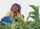 Ek Cup Chiya: The Story of Tea in Nepal