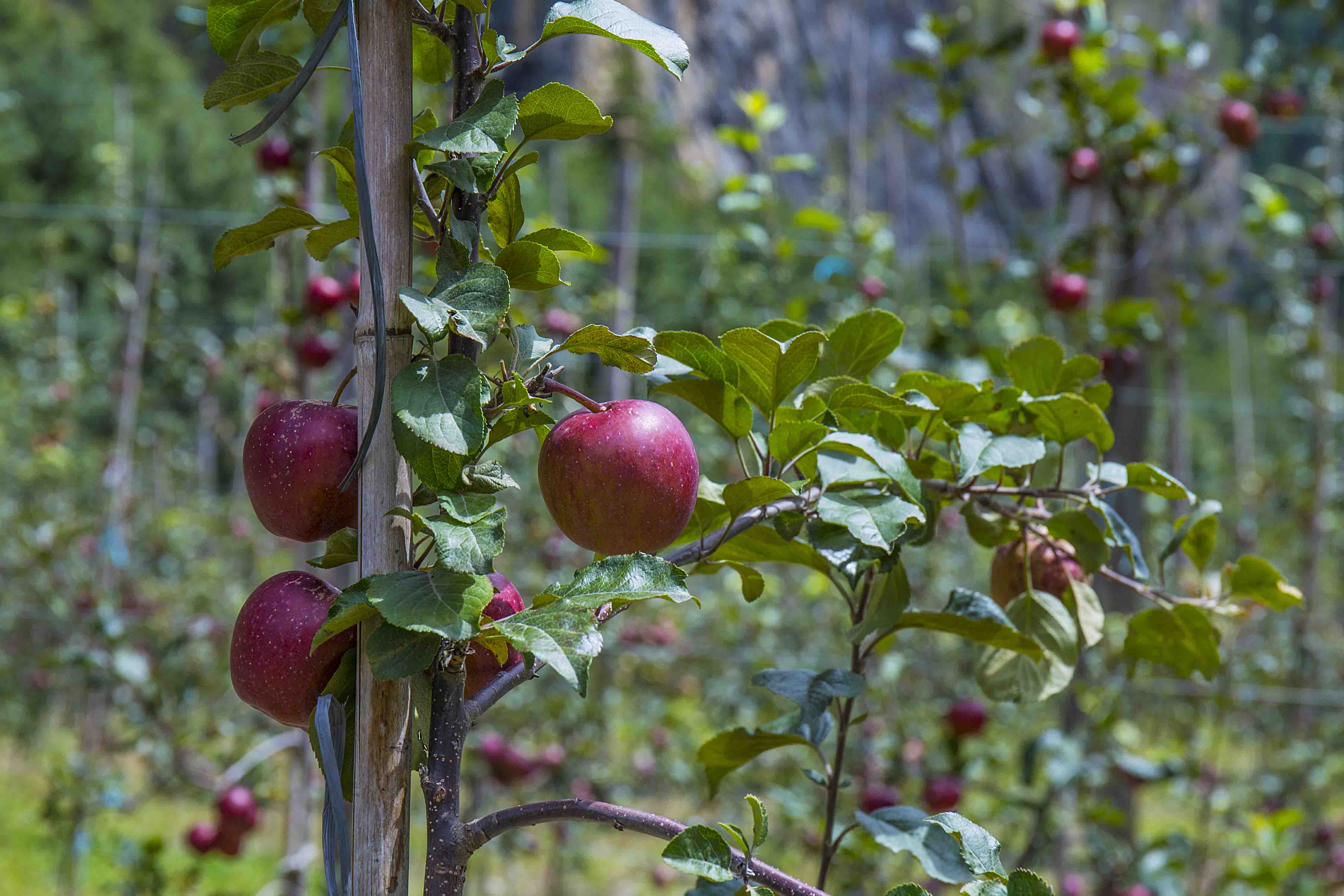Bhratang, the Apple Heaven