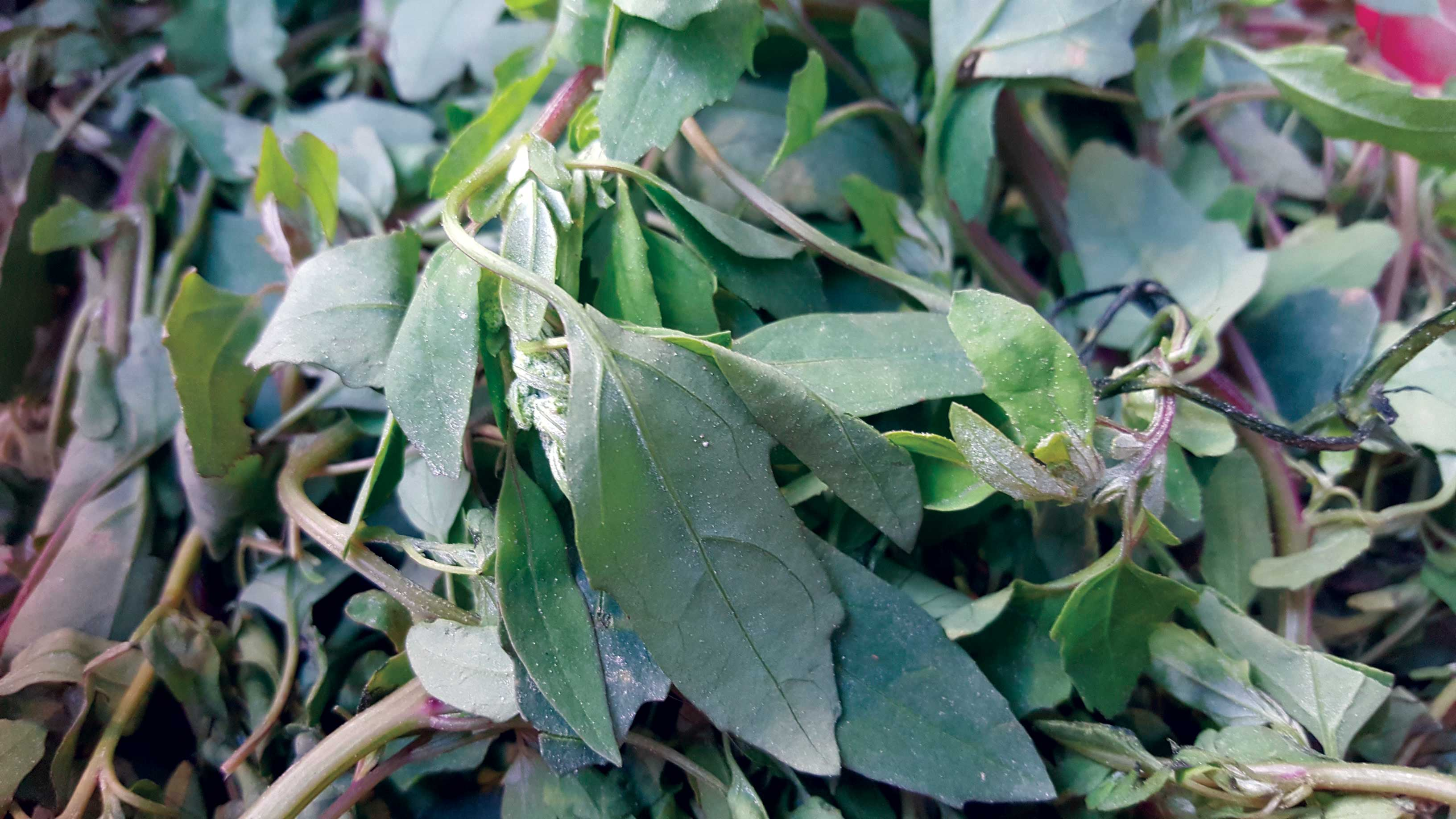 Bathua Saag: benefits and cooking tips