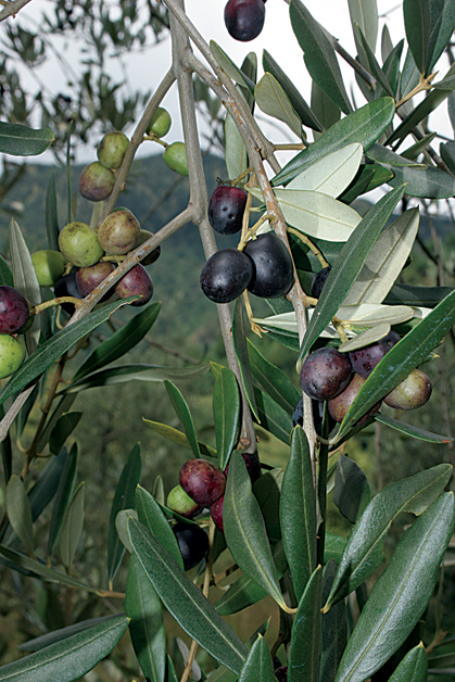 Olive: An Immortal Fruit! | Features | ECSNEPAL - The Nepali Way